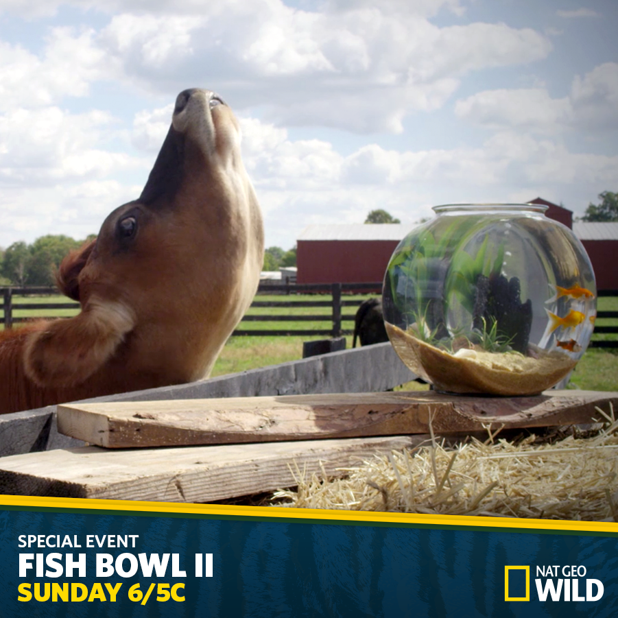 On Sunday, Goldie is headed to an exciting afternoon on the farm. Don't miss this adrenaline-filled event! #FishBowl http://t.co/RW1mKxXDHE