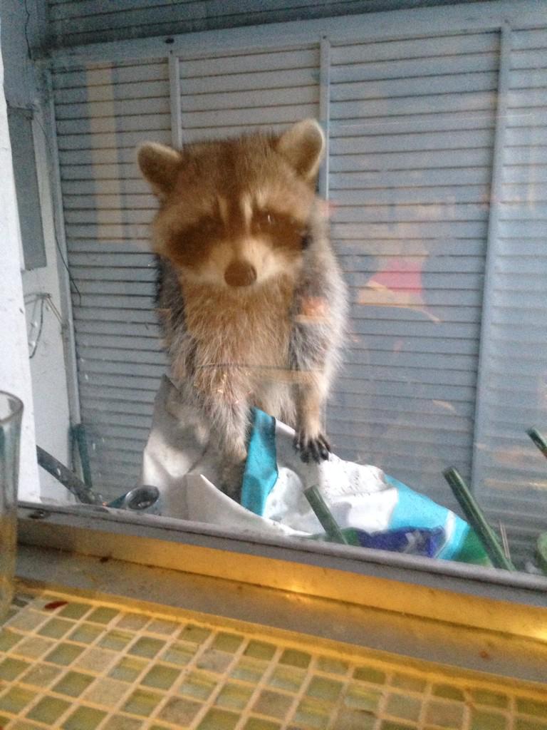 キッチンに行ったら、こんな子が家の中を覗き込んでた!吃驚した!! pic.twitter.com/XF2pxrS3m0
