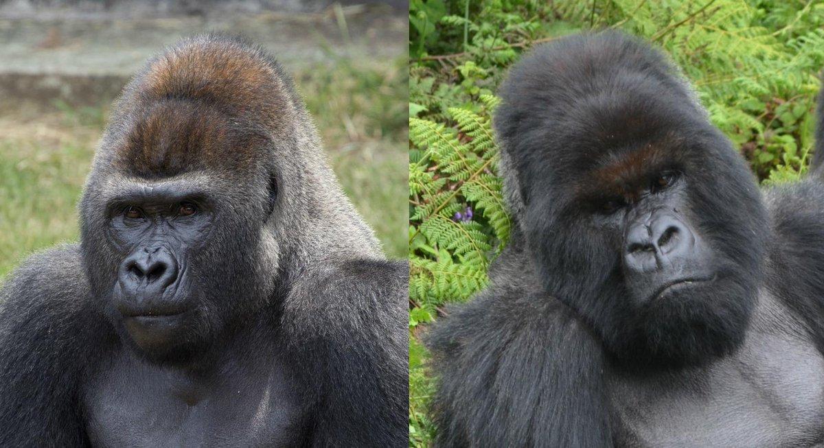 Mountain Gorilla Essay