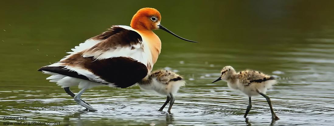 Speak out to help American avocet chicks and stop wetlands from being plowed under! http://t.co/paNJHyzSWr http://t.co/f0DF2TVxwt