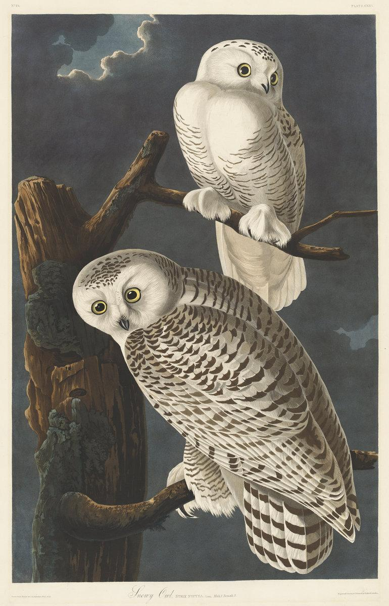 "A #SuperbOwl in our collection: Robert Havell after John James Audubon, ""Snowy Owl,"" 1831 http://t.co/C04CRGjcnl"