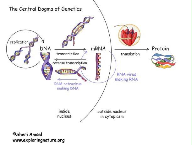 Jessie Lowry On Twitter Chanchan2195 Central Dogma Is Dna Is