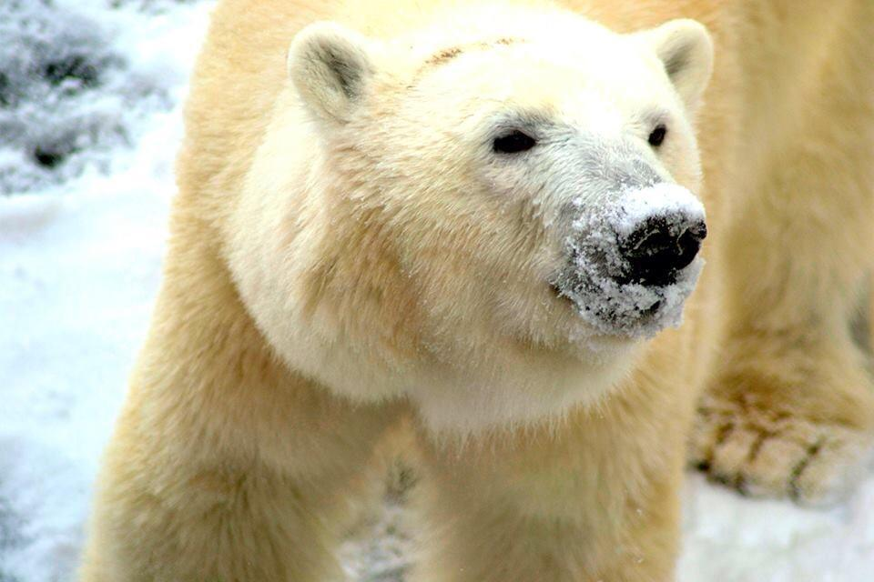 The @LouisvilleZoo is closed today. Enjoy your snow day kiddos. Qannik will. Be safe. http://t.co/3MaqK9HemM