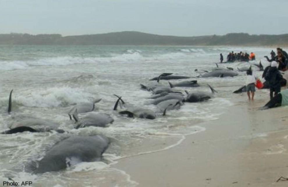 Nuova Zelanda: centinaia di balene pilota muoiono arenate sulla spiaggia