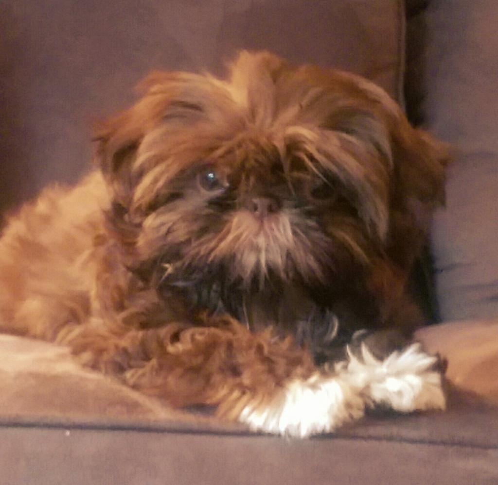 Jason Katcher On Twitter At Tonyvitcdwg Shes A Baby Brown Shih Tzu