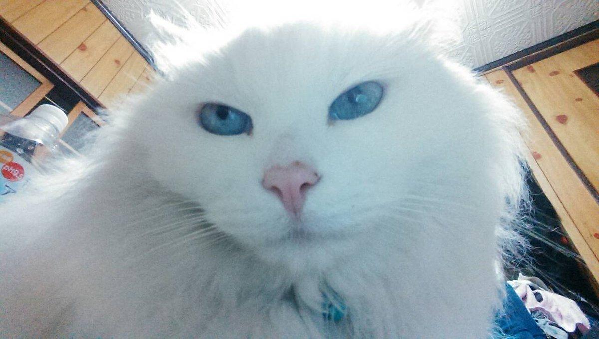 二次元の猫の話をわあわあやってたら、実家の愛猫が動画の自撮りをしたらしくメールが妹から届きました ねこねこネットワークすごい ちなみにこれが昨夜撮った自撮りだそうです