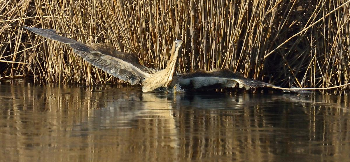 Superb bittern pics taken here by William B, one of our visitors @bbcspringwatch @ChrisGPackham http://t.co/K59rvFqE4B