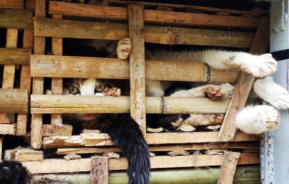 3 tonnellate di gatti soppressi in Vietnam