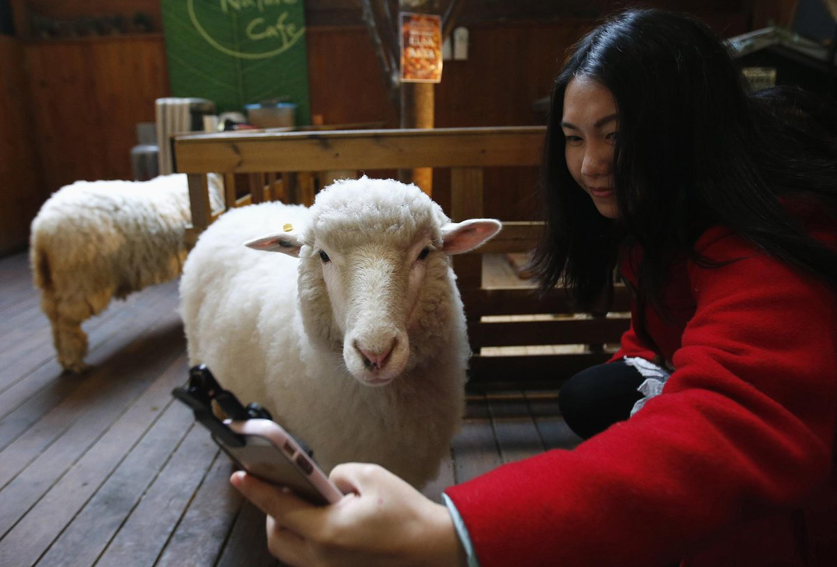 sheep cafe selfie