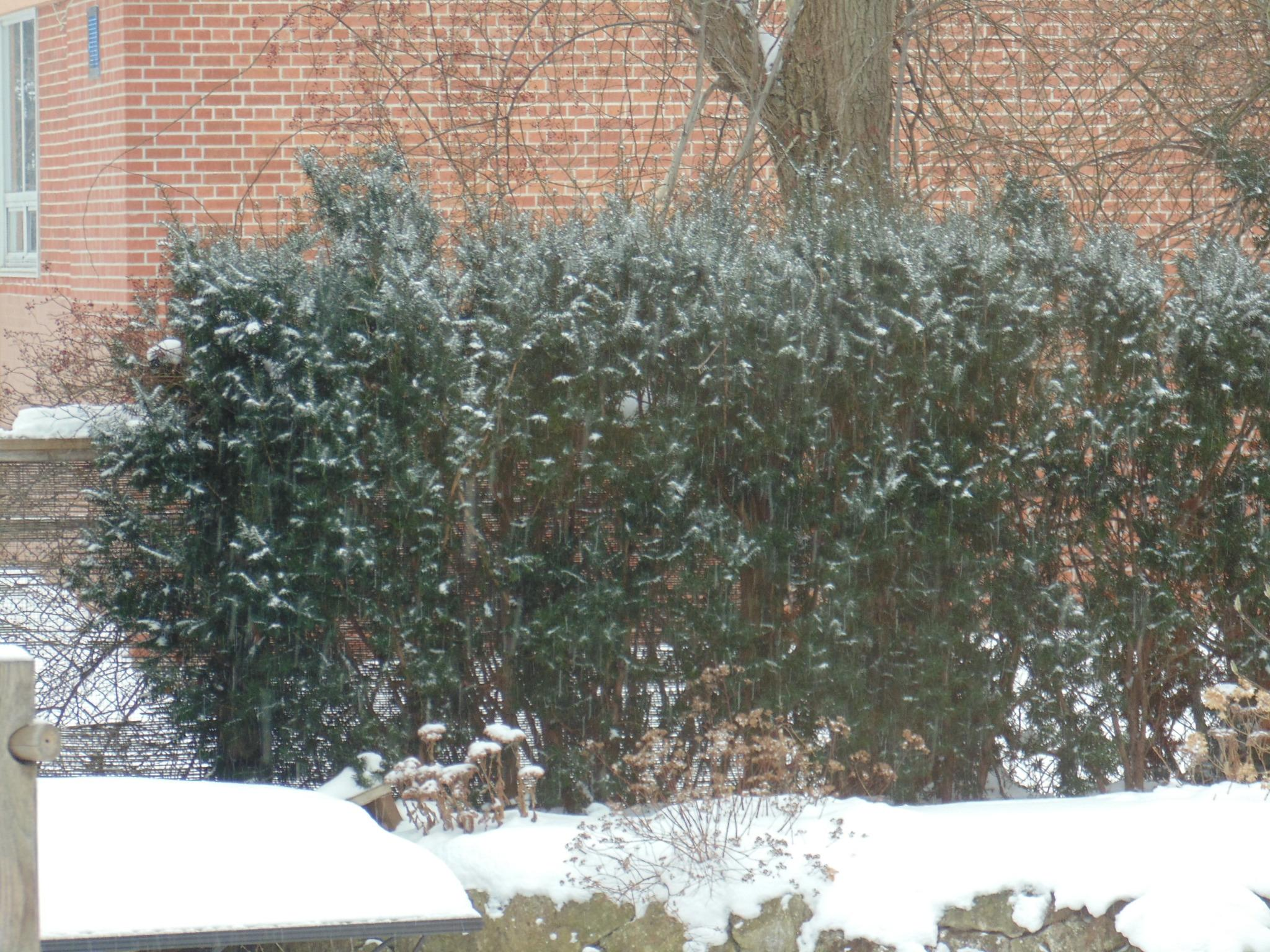 snowy yew tree hedge