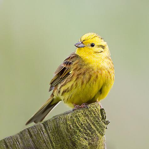 Learning about wild birds on #countryfile - loving the yellowhammer, what a colourful little dude! @CountryfileMag http://t.co/DsuMWmQ7e2