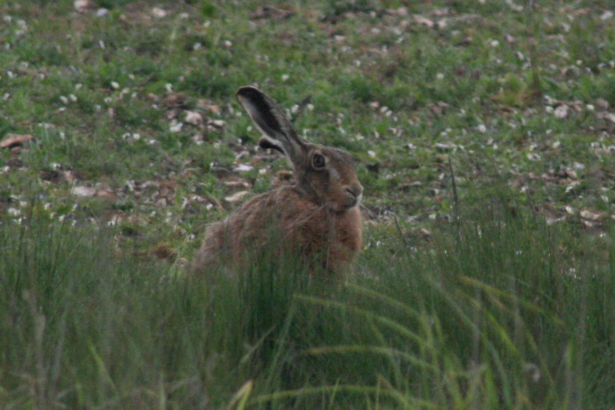 Not a bird, but also seen today on the Big Farmland Bird Count...brown hare! #bfbc http://t.co/fAhaHmrDe4