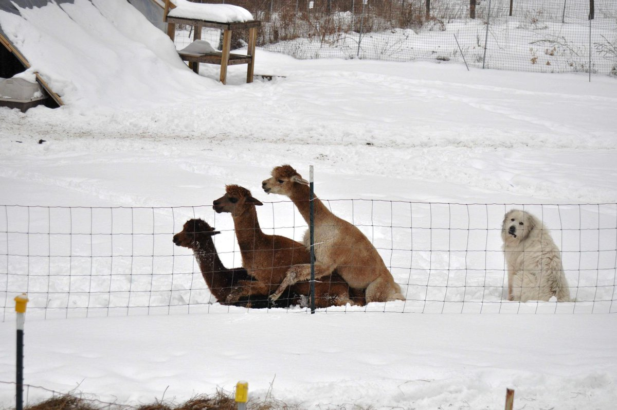 Some days you just feel like a dog at an alpaca orgy. http://t.co/wej1l68V2G