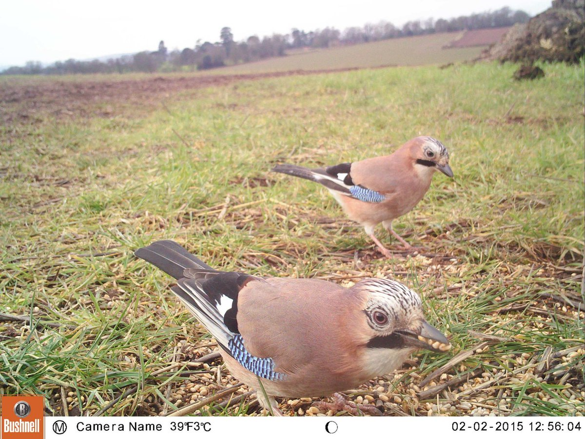 Jays have been enjoying the supplementary feed here and one turned up for the Big Farmland Bird Count too  #BFBC http://t.co/B6w7gs0QJo