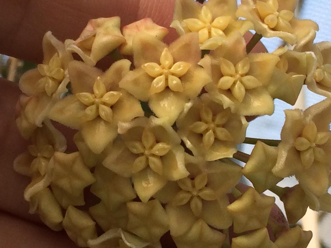Hoya Plants On Twitter Hoya Dimorpha Iml 0482 Very Slow Grower