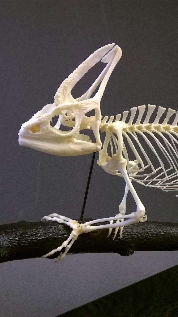 Skulls Unlimited International The veiled chameleon has a