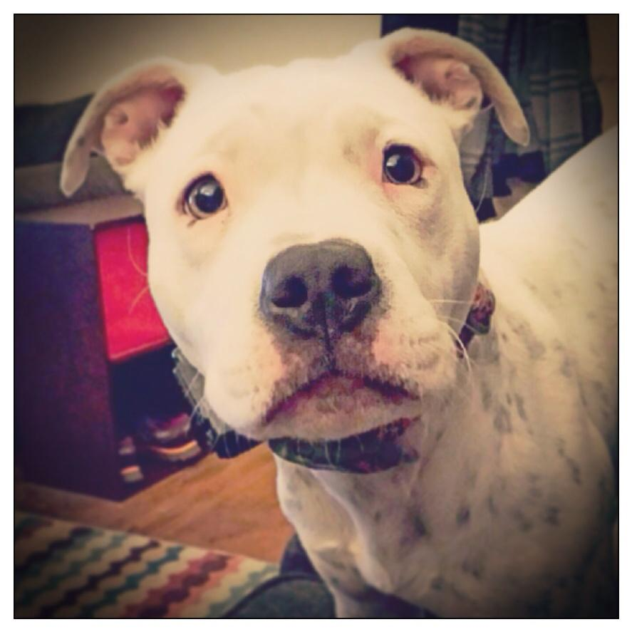 HELPING A FRIEND: CeCe needs a home! 7 months old, playful and loves cuddling.   KristinG@fortheloveofdogtraining.com http://t.co/GX0561im1C
