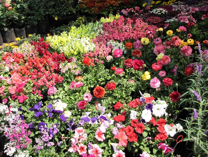 Mercados de flores para este 14 de febrero azteca noticias - Madreselva en maceta ...