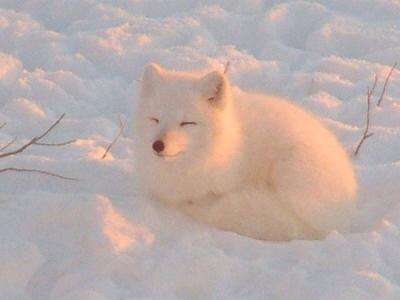 ホッキョクギツネという狐が予想を超える可愛さだった(;゜ω゜) pic.twitter.com/yBIkE7Zy6b