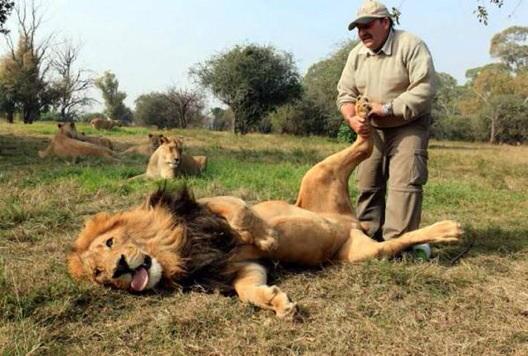 Картинки по запросу lions acting like cats