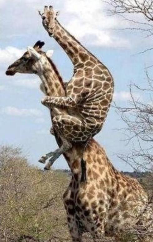 uzoo on twitter quotbaby giraffe gets a piggy back httpt