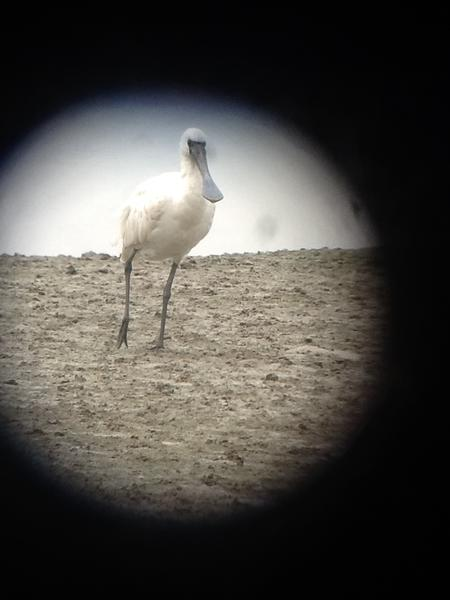 Globally endangered Black-faced Spoonbill at Mai Po #incidentsoftravel #iPadScoping http://pic.twitter.com/n1eG1YxM