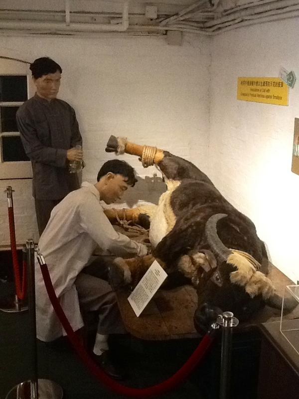"""Inoculation of calf with cowpox to produce vaccines against Smallpox"" exhibit #incidentsoftravel http://pic.twitter.com/kWVYbXpG"