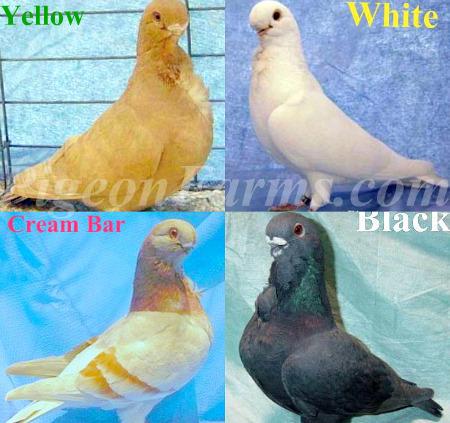 Pigeons For Sale   Pigeon Farms & Co  (@PigeonsForSale