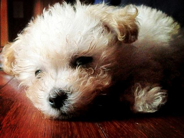 Alex Crown On Twitter His Name Is Teddy Yorkiedoodle Puppy Http