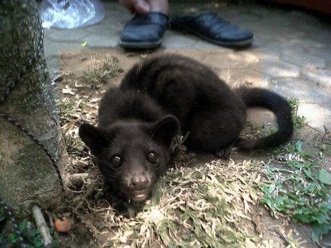 Musang Lombok JUAL BELI EKSOTIK PET