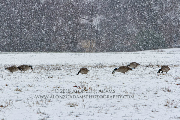 Geese in the snow - Oklahoma City #snow on Feb. 12, 2013.  #OKC #okwx #photography http://pic.twitter.com/0GaeMD3a