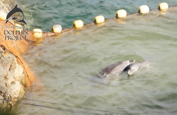 일본 타이지에서 포획되기 바로 전 돌고래 가족들이 마지막 포옹을 나눕니다. 이 돌고래들은 포획되어 평생 작은 수족관에 전시되거나 살육되어 고기로 팔려가게됩니다. (사진출처:dophin project) http://t.co/9B6vifd7
