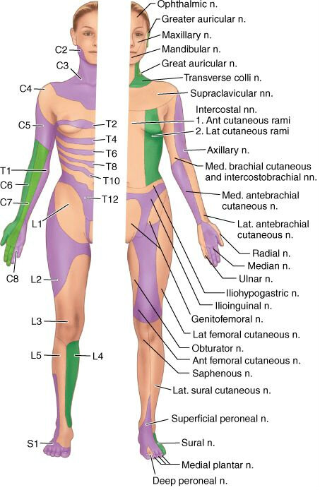 Sensory Localisation Dermatomes Peripheral Nerves Evidence Reviewed