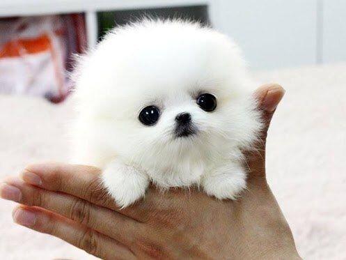つやつやの黒豆 pic.twitter.com/bUB53Evi5p 真っ白な子犬