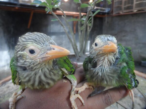 Pasar Burung Lolohan On Twitter Tangkur Bultok Lolohan Http T Co 8oj3ikcc Http T Co Oq04ltfp