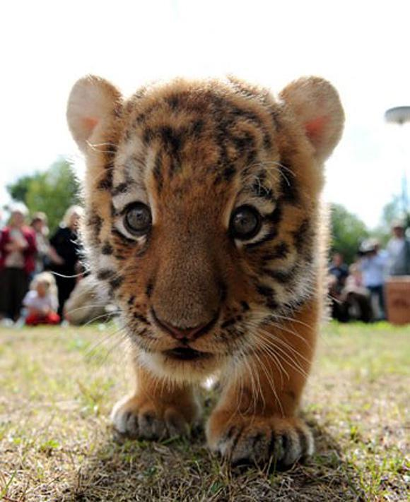 "UberFacts on Twitter: ""Baby tigers were ranked among the ..."