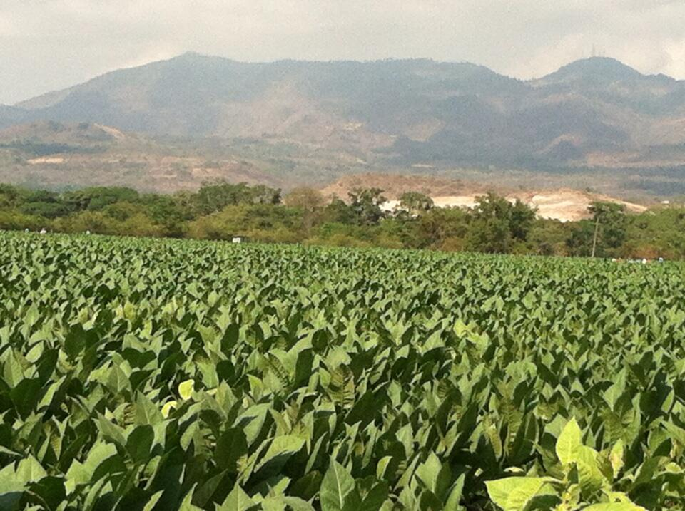 Twitter / EmilioCigar: Tobacco almost ready for harvest ...