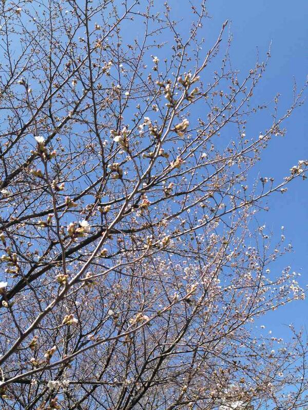 だいぶ開花した木も