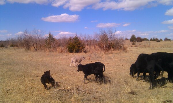 Twitter / BeckyMcCray: The baby calves are tear-assing ...