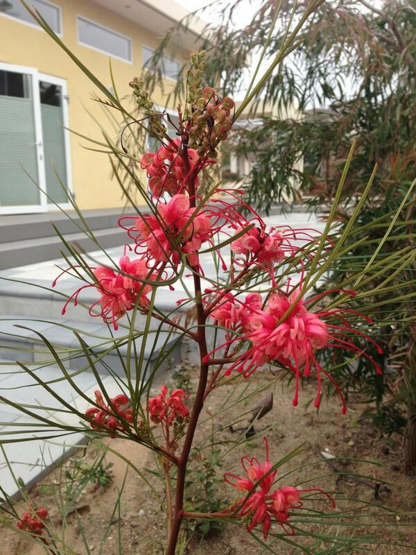 Ha Phan On Twitter Grevillea Long John Australian Flower