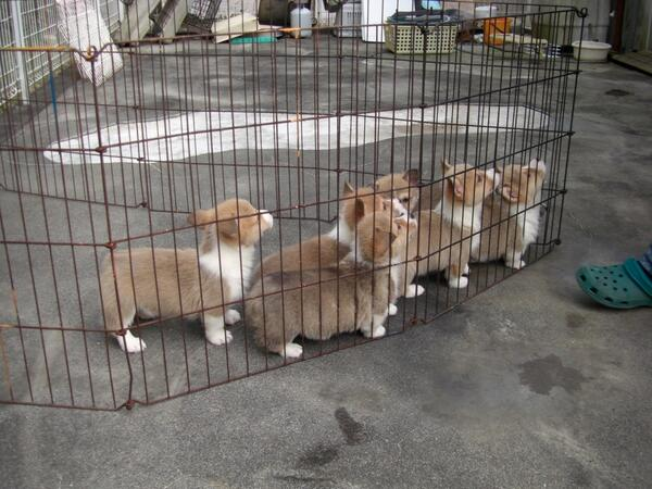 @dogspictures コーギーの集団行動、右向け右!