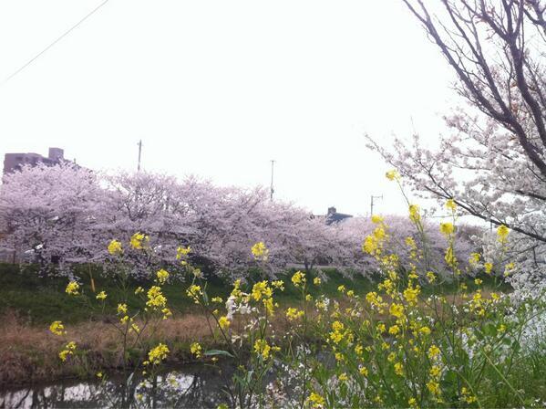 菜の花と桜並木。  #桜 #福岡 http://t.co/q8dAKeX6WZ