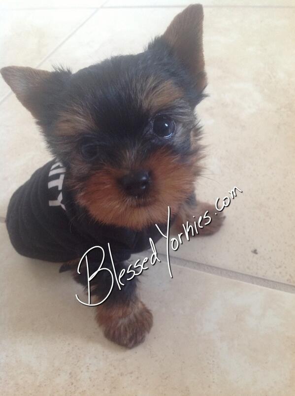 Blessed Yorkies (@blessedyorkies)   Twitter