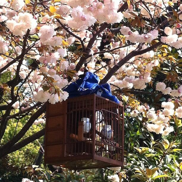 Twitter / jeffdelkin: #bamboo bird cage in the blossoms ...