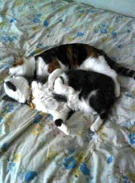 RT @crquick: @KLBlakely  here are our cats cuddling. #beauty #pippin #nifkin pic.twitter.com/GM8Y9PFxdm