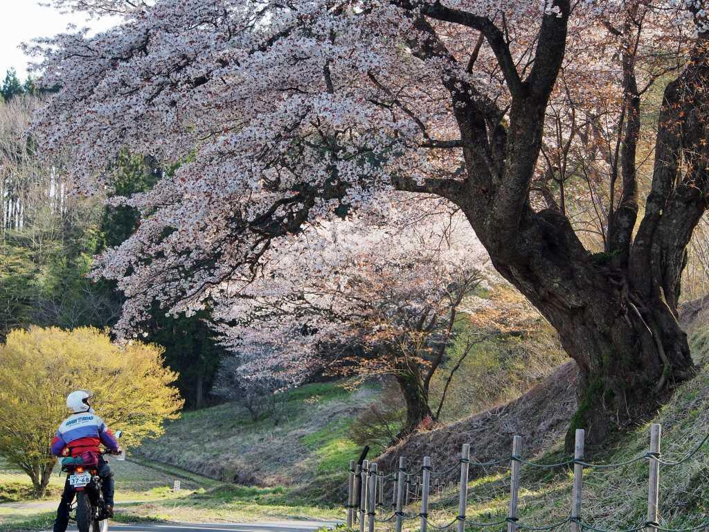 阿武隈の桜を見にミニツーリング