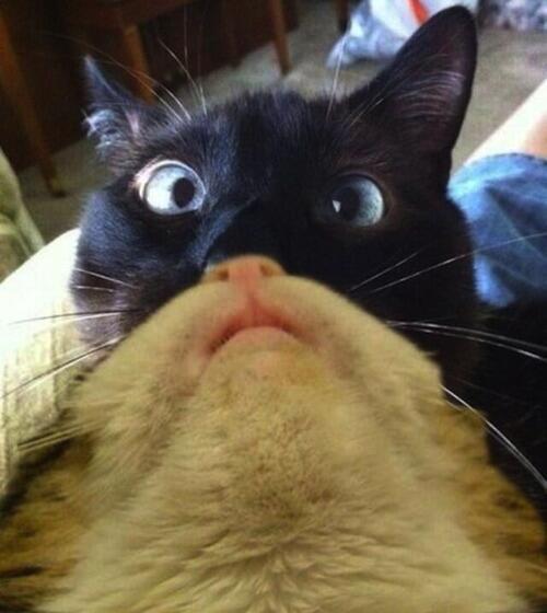 Cat cat bearding