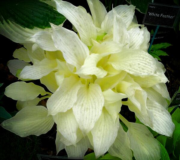 Sophie Leguil On Twitter An Amazing Almost Albino Hosta