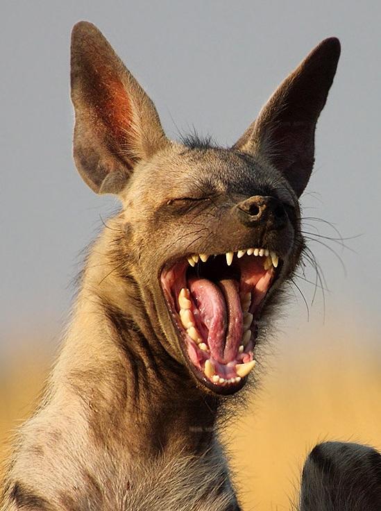 мудрость пусть картинки гиена улыбается подборка винтажных