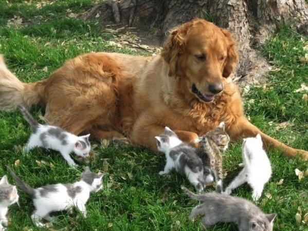 子猫の世話をする犬 pic.twitter.com/Q1pRnGMtdM
